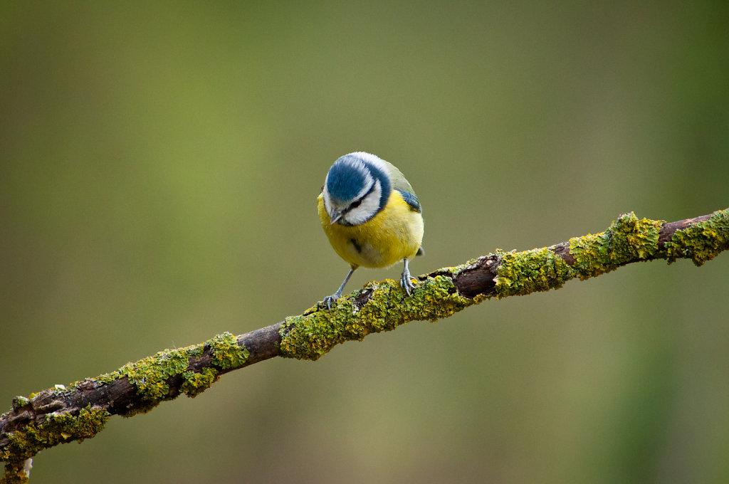 Blue tit on mossy branch