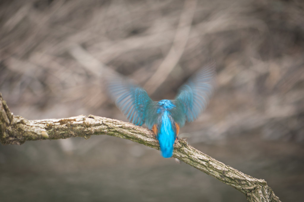 Male kingfisher about to take off