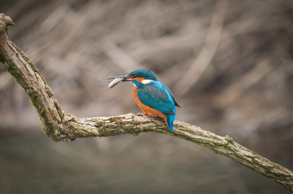 Male kingfisher with freshly caught fish