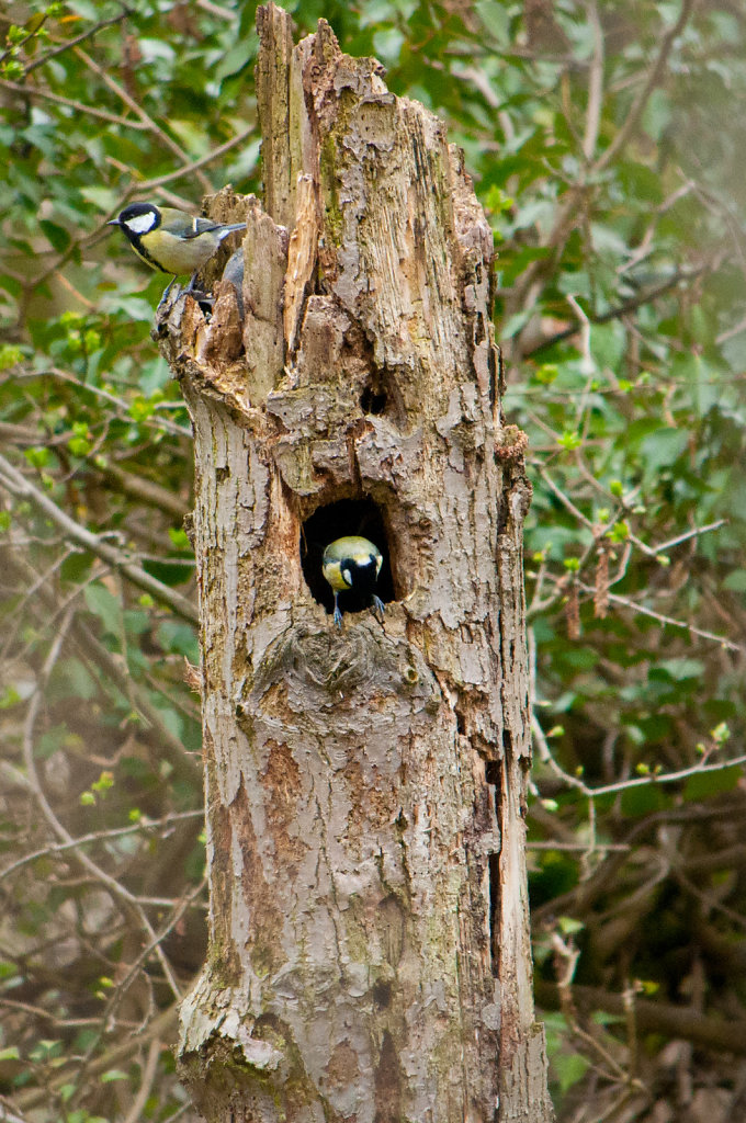 Two great tits visiting a hollow tree stump