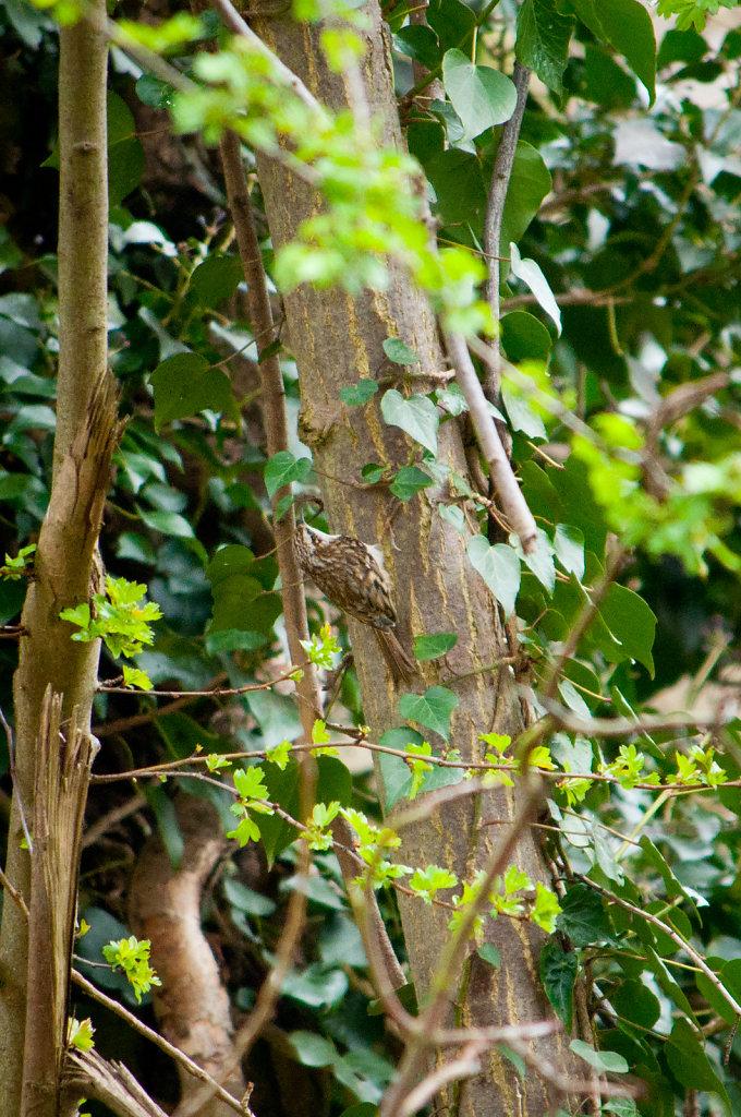 Very well hidden tree creeper