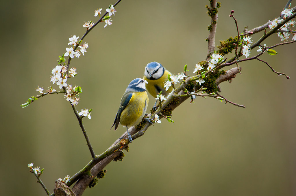 Two blue tits on blossom branch
