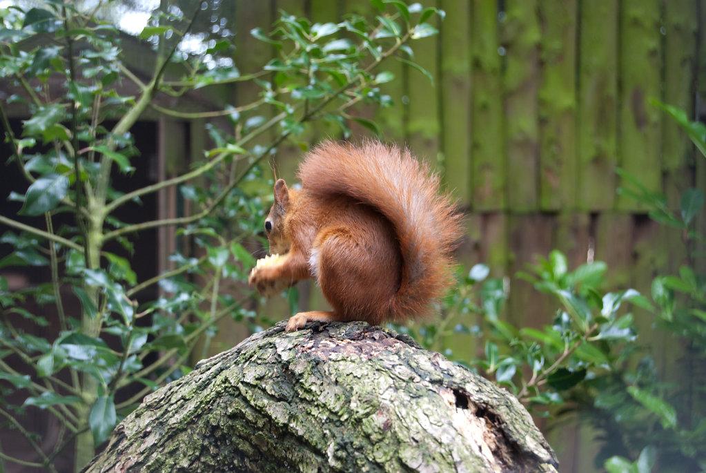 Red Squirrel at Pensthorpe