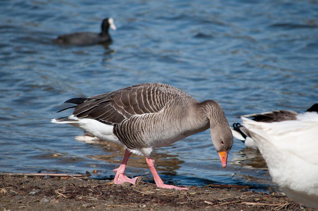 Goose at Whitlingham