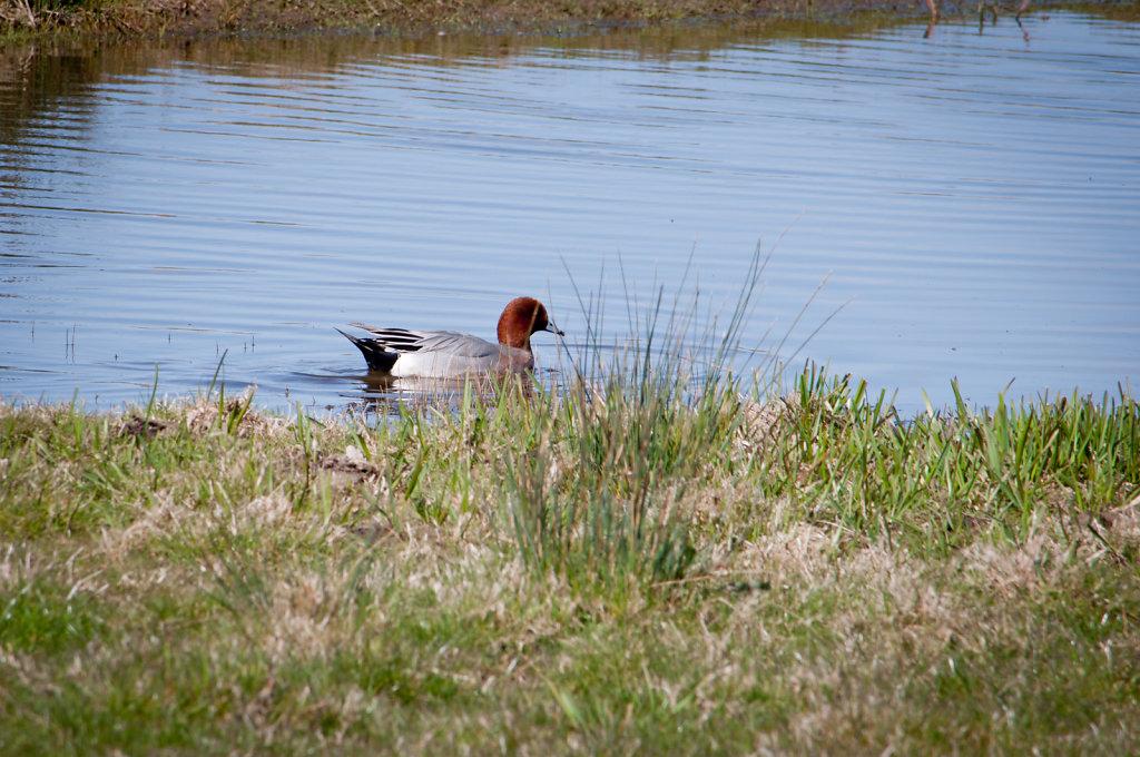Duck at Buckenham Marshes