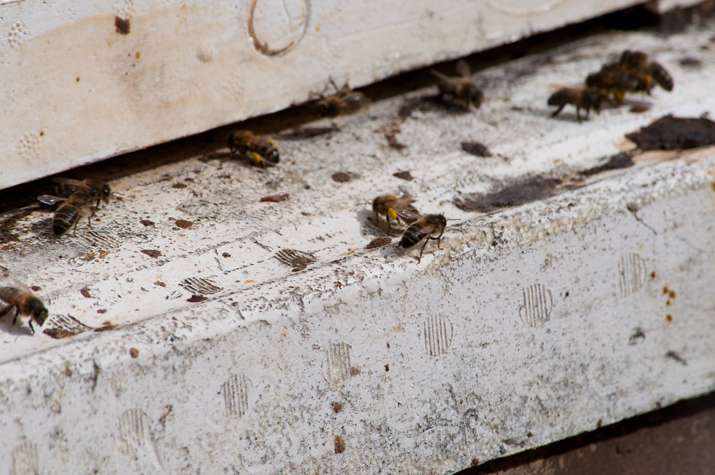 Bees at Hinchingbrooke Park