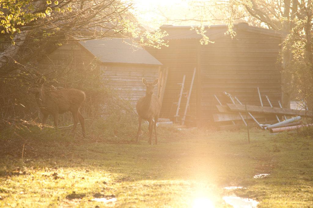 Deer at Minsmere