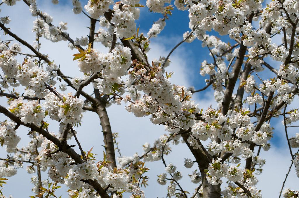 Blosson at Hinchingbrooke Park