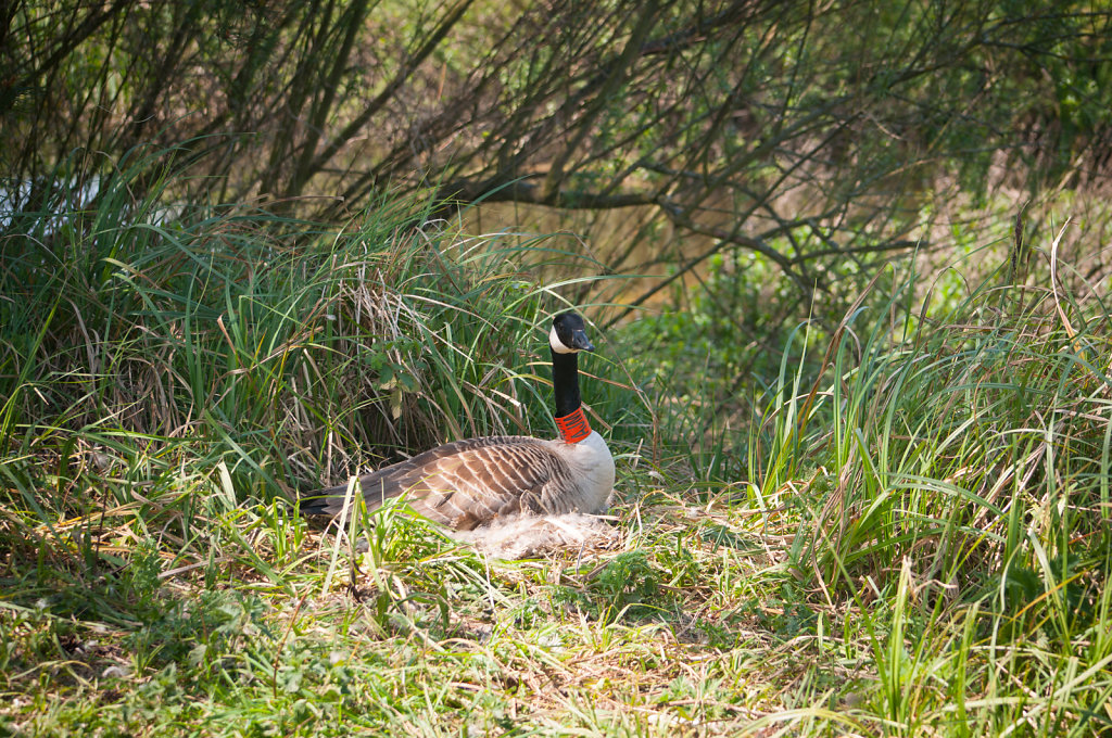 A goose making a nest